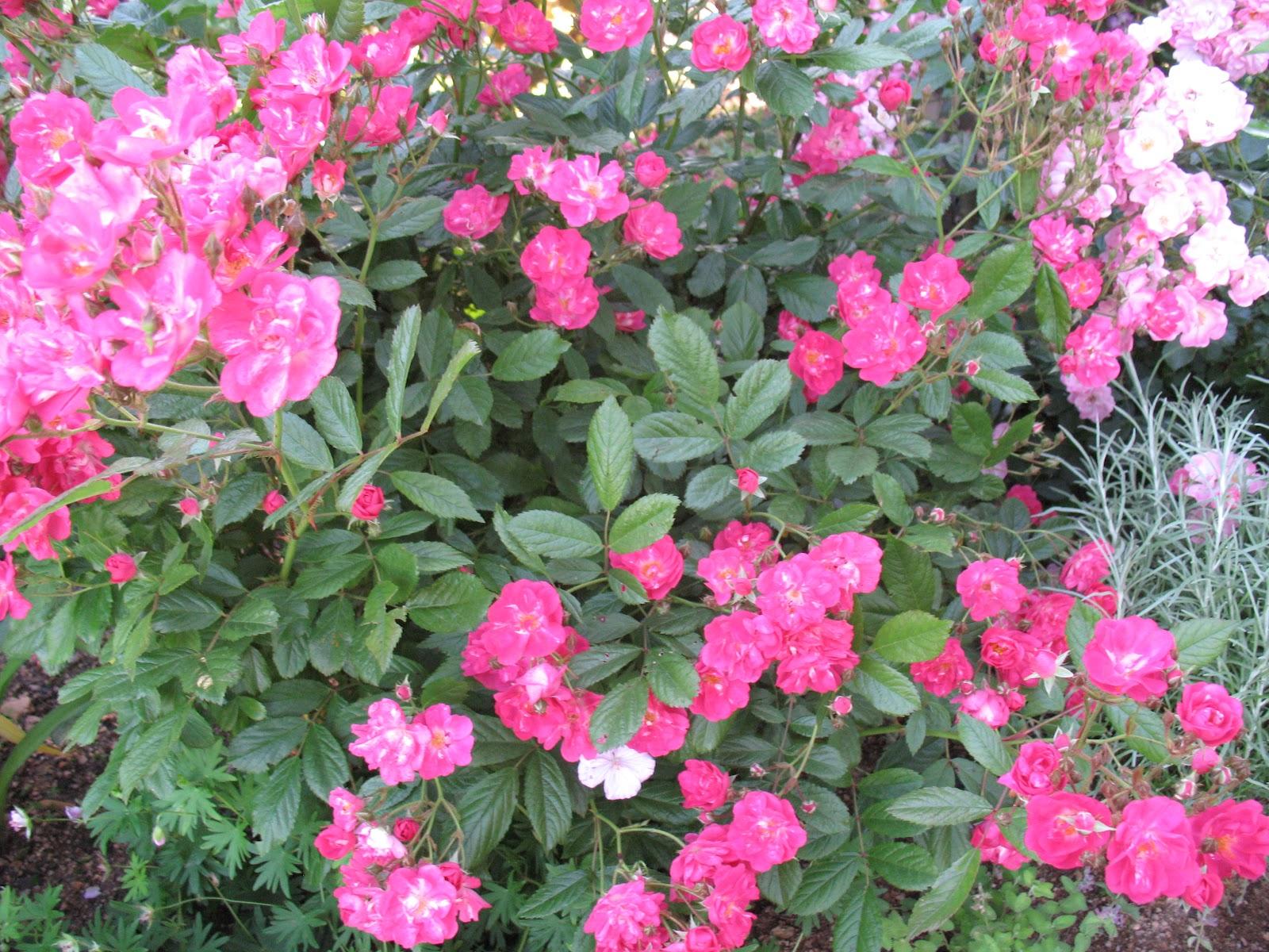 roses du jardin ch neland rosier robin hood. Black Bedroom Furniture Sets. Home Design Ideas