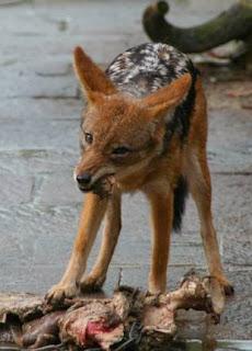 Een paar keer komen we een zadeldekjakhals tegen, zwervend over de savanne.