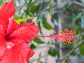 Anthers and filament of the red hibiscus