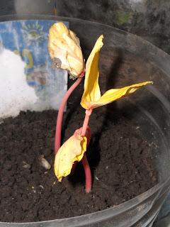 11 марта, ростки клещевины 3
