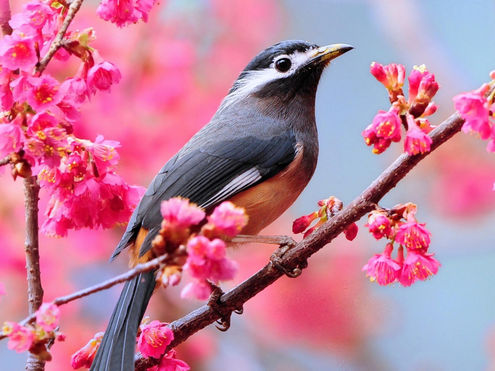 http://3.bp.blogspot.com/-ONQjH48lGnU/TnMI39Kr1xI/AAAAAAAAAHA/wT53mPUgbmk/s1600/1270087720_1600x1200_spring-bird-wallpaper.jpg