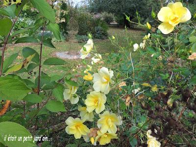 rosier jaune et blanc