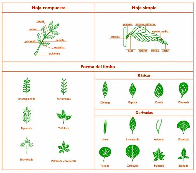 Metodos de la ciencia 2014 tipos de hojas y sus nombres for Cuales son los tipos de arboles