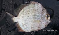 Orbfish