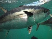 Perbedaan Ikan Tongkol, Ikan Cakalang, dan Ikan Tuna