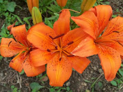 My Orange Lilies