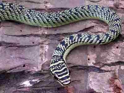 grøn slange thailand