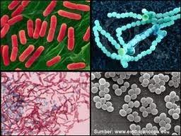 bakteri sipilis
