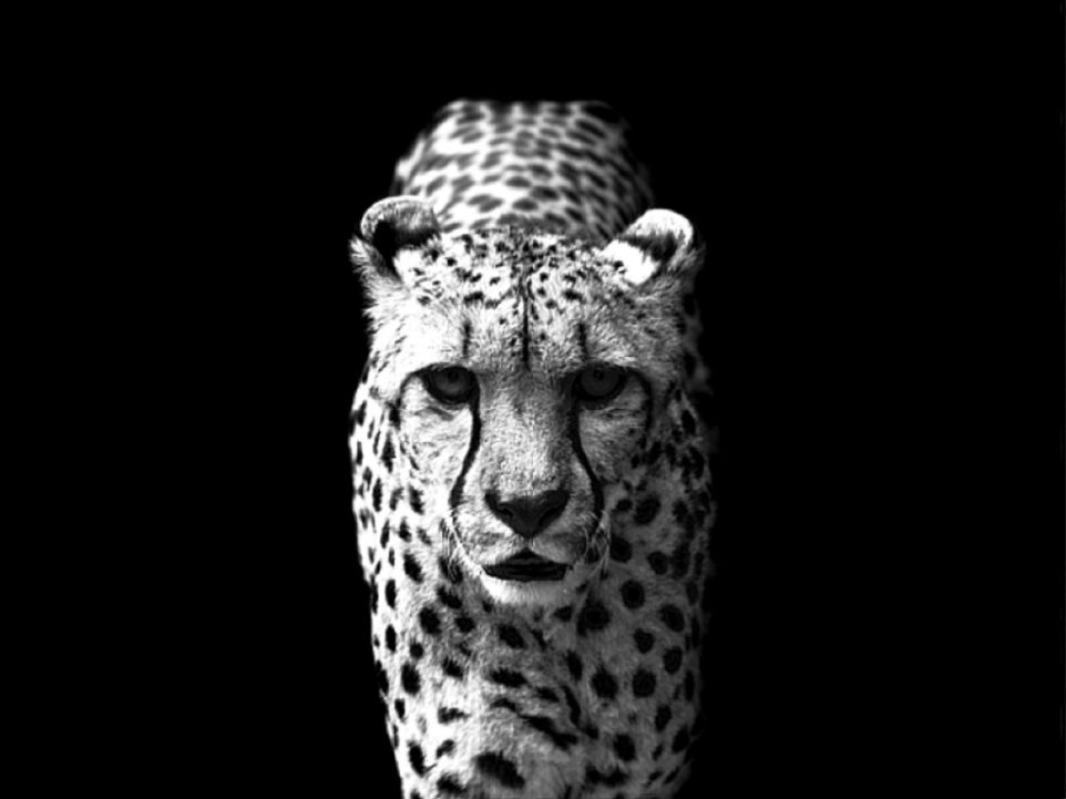 Wallpaper2u Cheetah picture cool black and white animal desktop