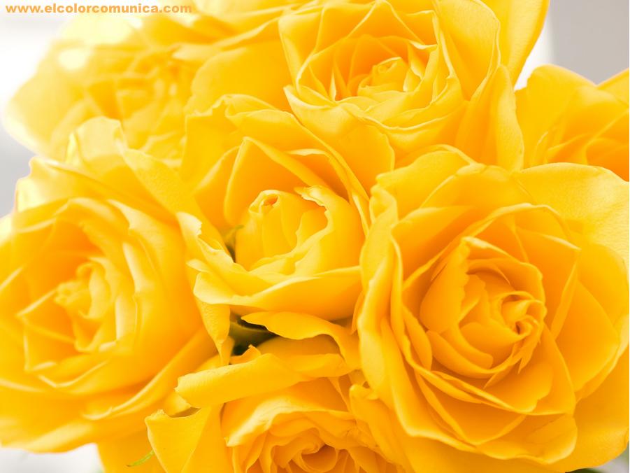 EL COLOR COMUNICA: Significado de las rosas amarillas ...  Yellow Rose Flowers Wallpapers For Desktop