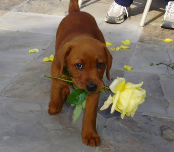 Cute dogs (50 pics), dog pictures, cute puppy brings flower with its mouth