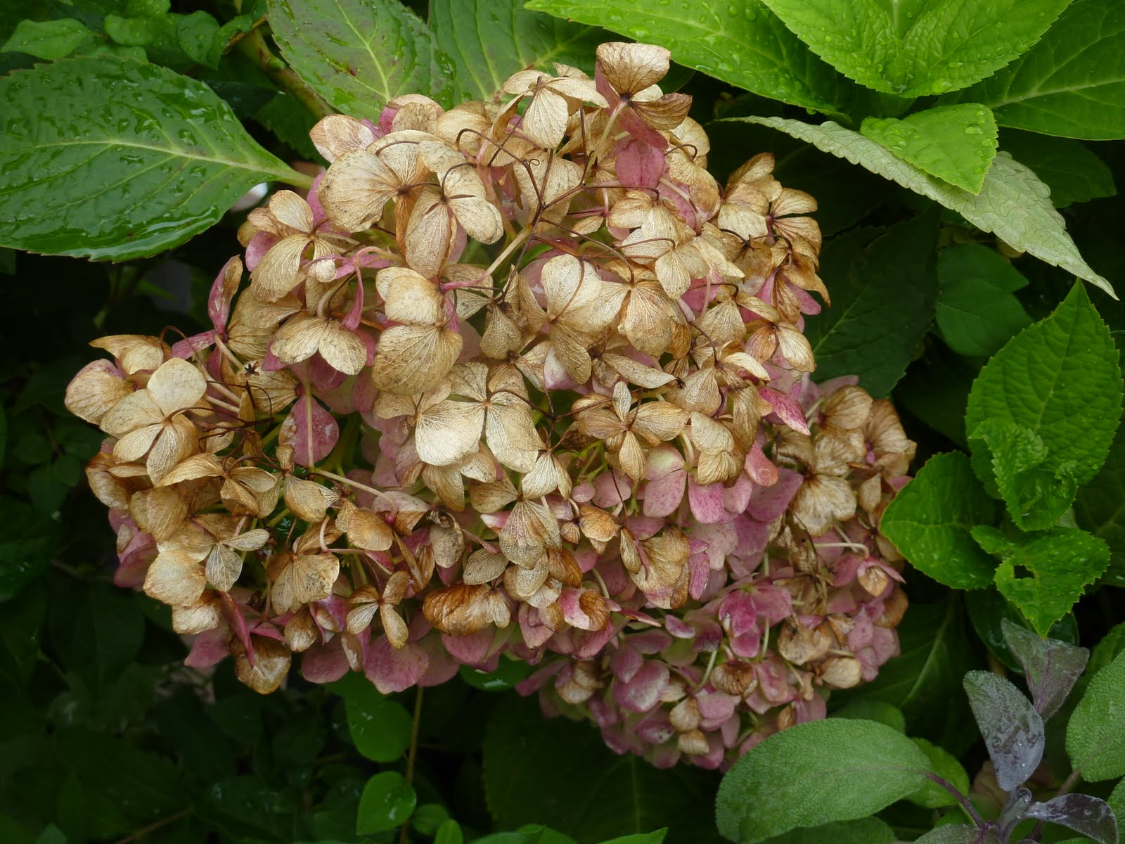 endless summer hydrangea submited images pic2fly. Black Bedroom Furniture Sets. Home Design Ideas