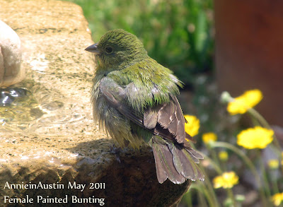 Annieinaustin,female Painted Bunting