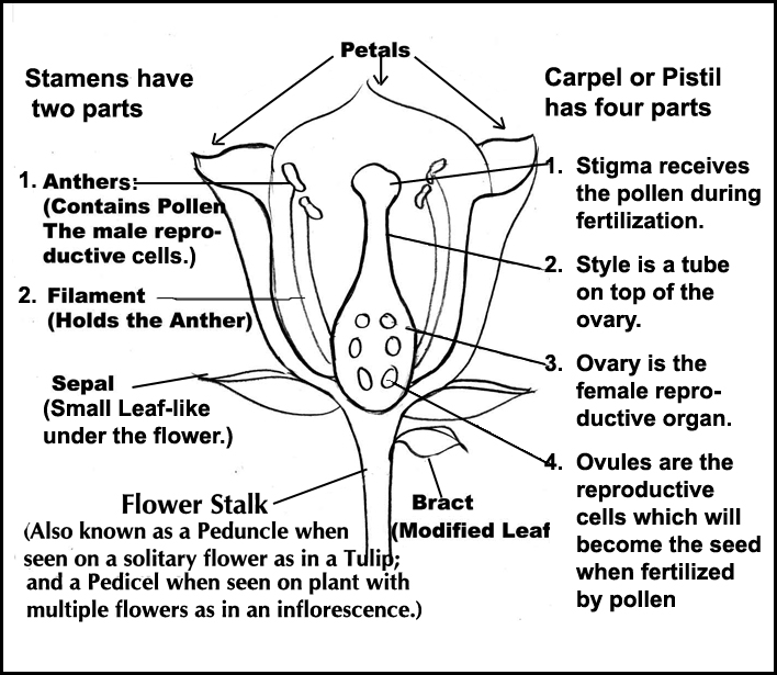 Team Buffon: French Vanilla Marigold's: Flower Anatomy