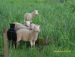 Valkoisia lampaita vai mustia lampaita. Heille kelpaa kaikki. Entä sinulle? Suosi perinnekasveja?