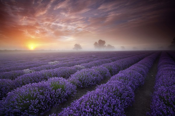 Lavender Fields in France & UK