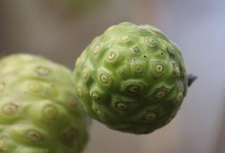 buah mengkudu - Morinda Citrifolia