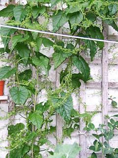 Caucasian spinach growing up trellis on wall