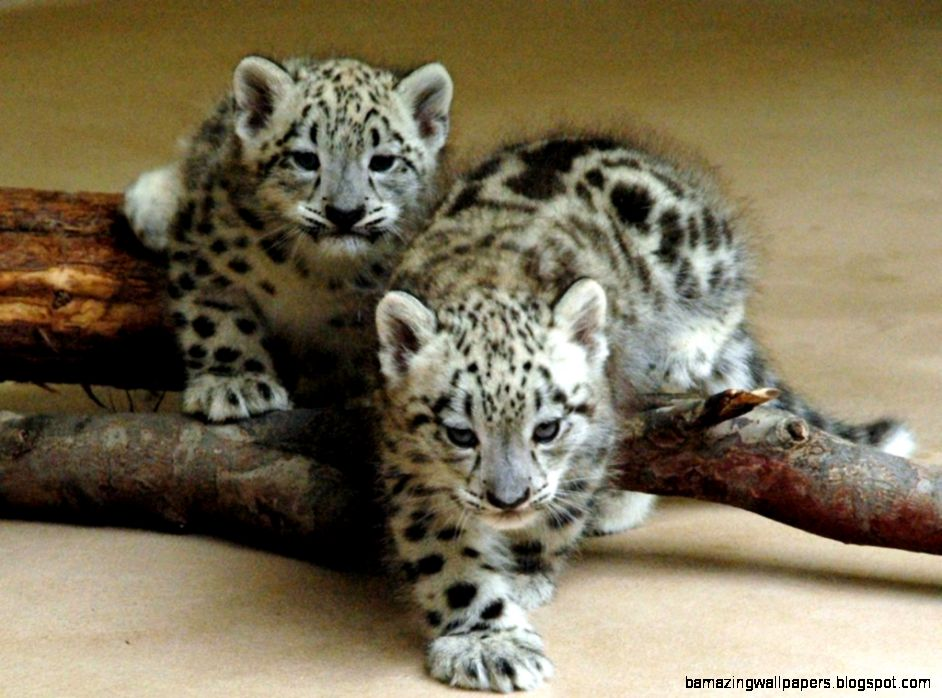 Two Leopard Baby 1024x768 WallpapersLeopard 1024x768 Wallpapers