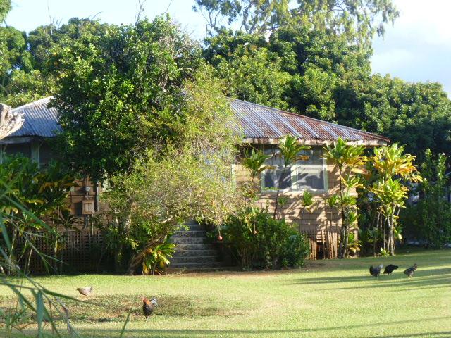 Hawaiian Backyard Fights : Maui jungalow with lai (ti leaf plants), rusty roof,