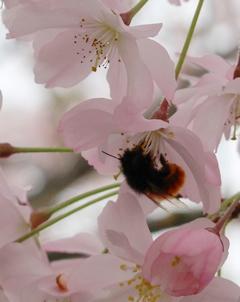 ✿ Fleur du mois : Sakura