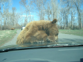 Brown Bear on my Hood