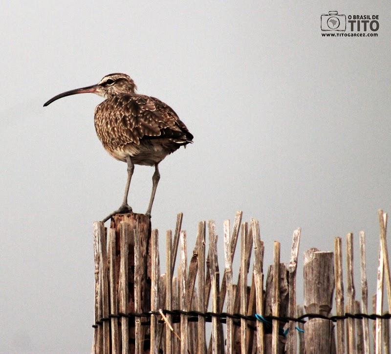 Maçarico-de-bico-torto (Numenius hudsonicus), em um curral na baía de Marapanim, na ilha de Maiandeua (Algodoal), no Pará