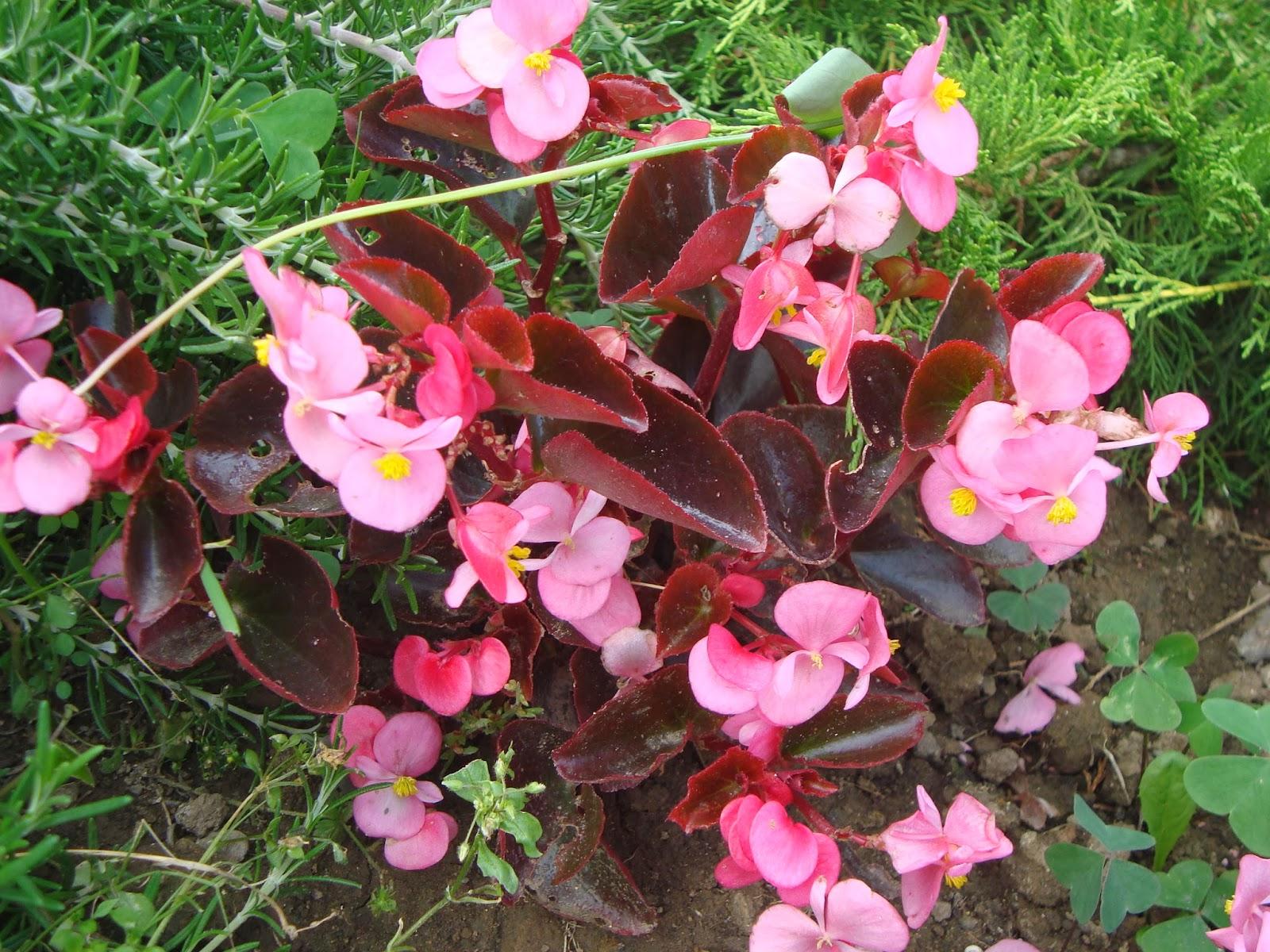 Plantas para zona de sombra - Flores de sombra ...