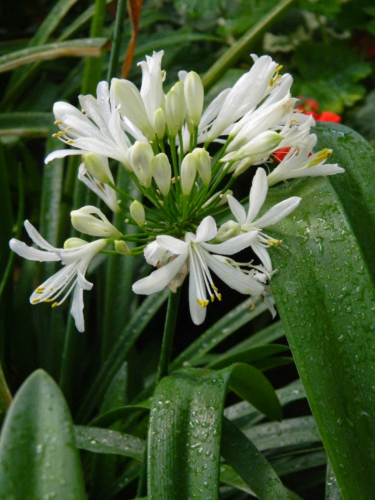 Agapanthus africanus Albus White Lily of the Nile Allan Gardens Conservatory 2015 Spring Flower Show by garden muses-not another Toronto gardening blog