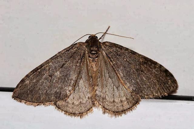 November Moth - Photographed, Milton Keynes
