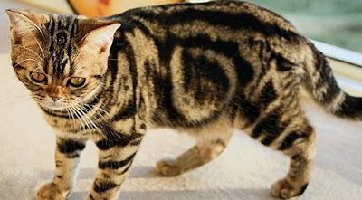 แมวอเมริกันขนสั้น