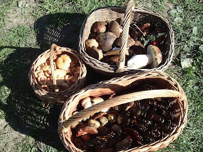 grzyby w październiku, grzyby na Orawie, grzyboobranie na Orawie, borowik szlachetny, Boletus edulis, borowik ceglastopory, Boletus luridoformis, mleczaj jodłowy, mleczaj późnojesienny - Lactarius salmonicolor, mleczaj jodłowy, mleczaj późnojesienny - Lactarius salmonicolor porażony grzybem Hypomyces sp., Borowik górski Boletus subappendiculatus, Muchomor czerwony, Amanita muscaria