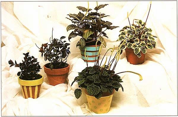 Пеперомии: гибрид «Columbiana», гибрид «Rauvema и три разновидности сморщенной