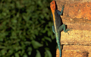 Red headed Rock Agama HD Wallpaper