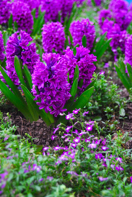 Another favorite: Lobelia 'Regatta Lilac' and Hyacinth 'Purple Voice'