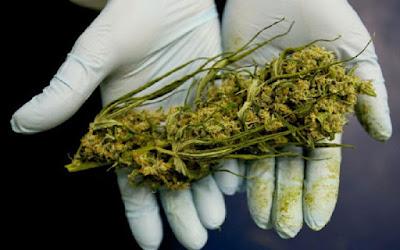 Gobierno Federal admite Finalmente cannabis puede ayudar a destruir células cancerosas