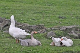 China goose, Embden geese, goslings