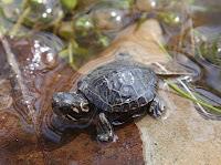 chrysemys picta bebe tortue peinte
