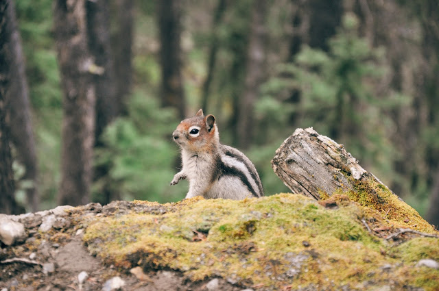Squirrel at the Sulphur Mountain