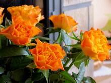 Grudniowe róże 2015