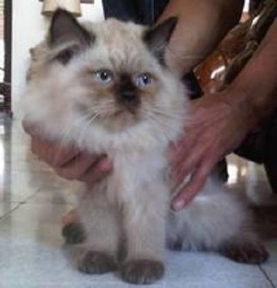 Gambar Kucing Persia Himalaya lagi dipegang