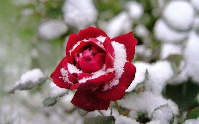 red rose with snow wallpaper