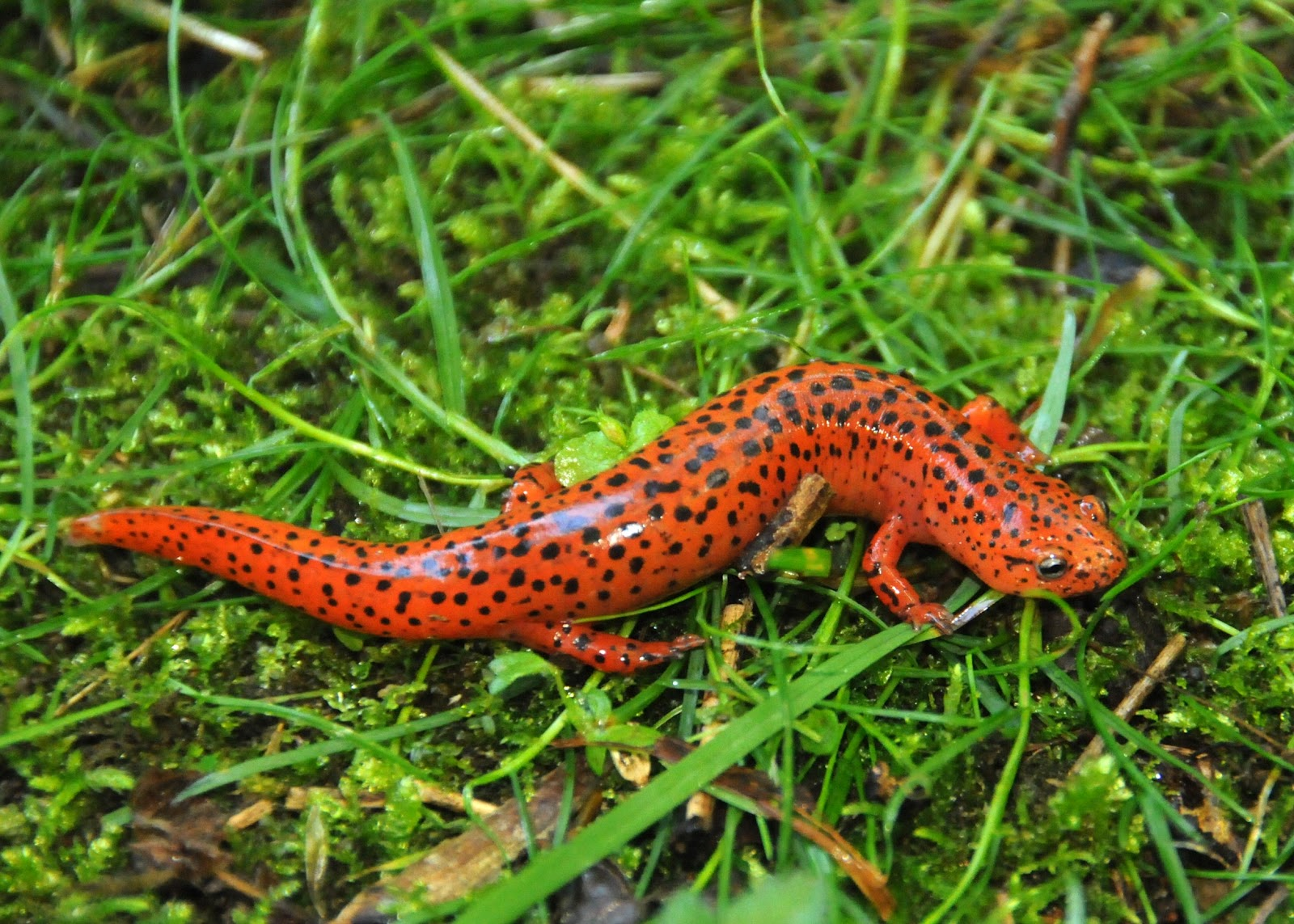 Stewardship Chronicles: Northern Red Salamander