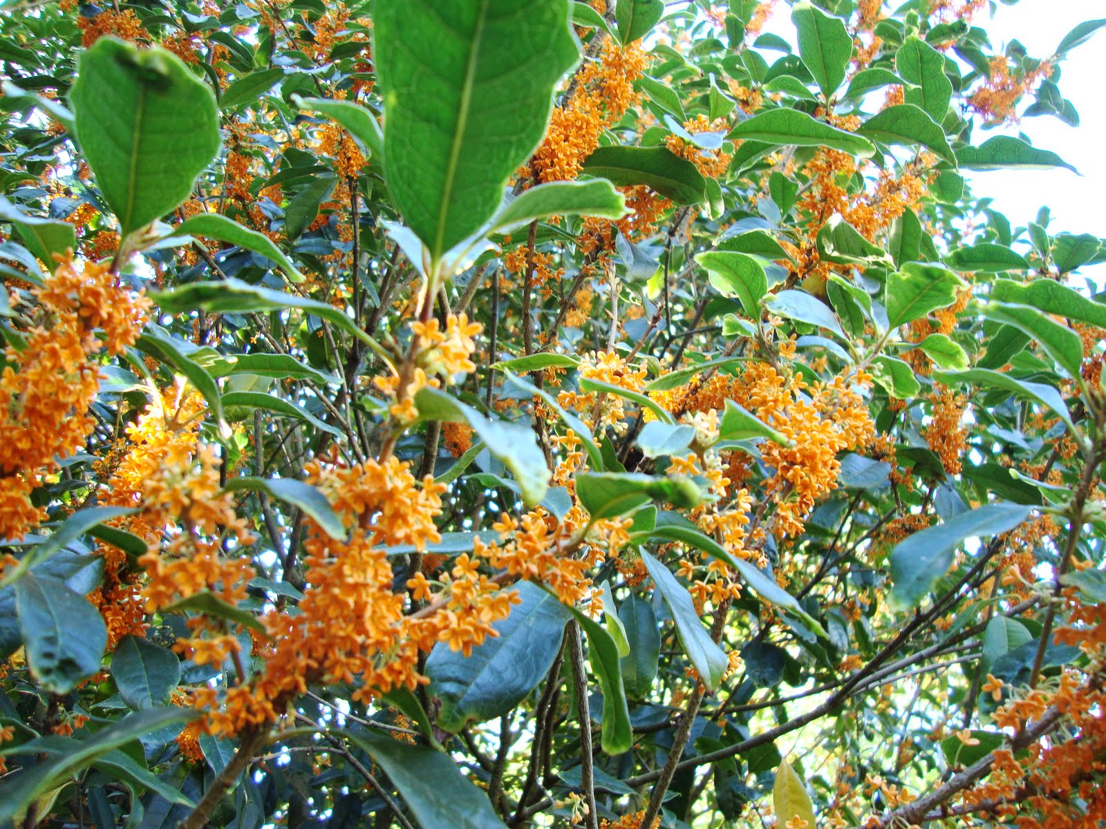 Orange Blossom Tree Posted about this tree Orange Blossom Tree