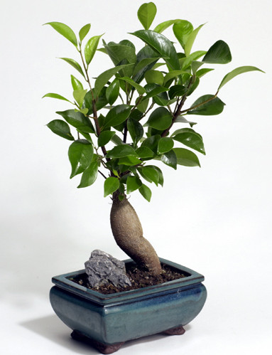 the beauty of age the ancient art of bonsai. Black Bedroom Furniture Sets. Home Design Ideas
