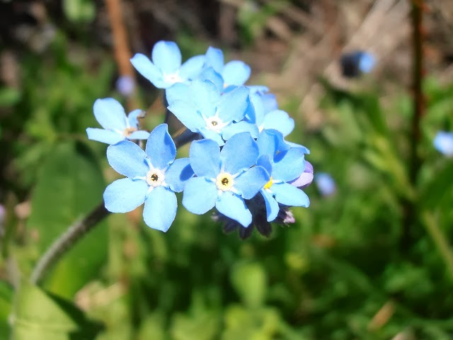 flores-de-NOMEOLVIDES-Myosotis-scorpioides