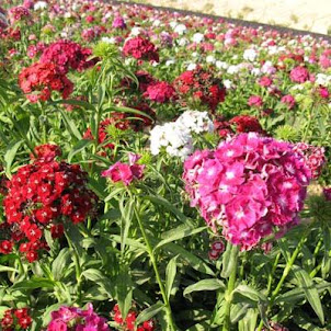 Dianthus Volcano Mix (Harris )
