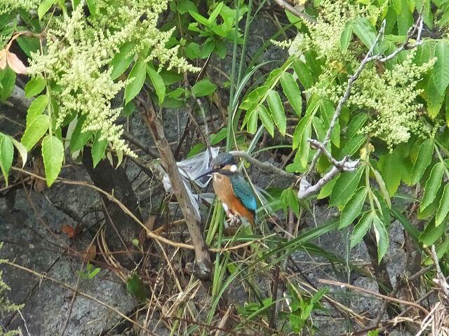 洛西NT小畑川河川敷公園にはカワセミが棲んでいる。