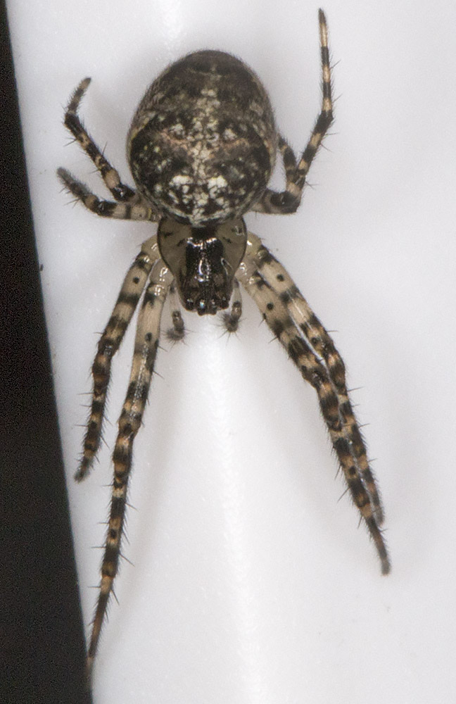 Spider on the thermometer.  Probabkly Metellina merianae.  In my back garden in Hayes, 1 October 2014.