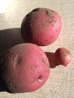 first red skin potatoes of the season from my garden